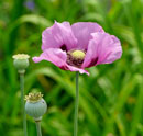 """Poppy in Bloom"" by David Ernst – Photography (Artists' Undertaking Gallery)"