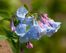 """Pink Virginia Bluebells or Virginia Cowslip"" by Gerry Gantt – Photography"