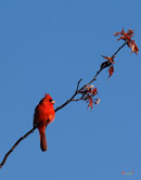 """Cardinal on a Cherry Branch"" by Gerry Gantt – Photography"